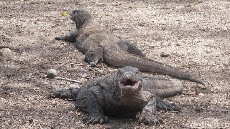 Foto: Komodo di Pulau Komodo (Afif/detikTravel)