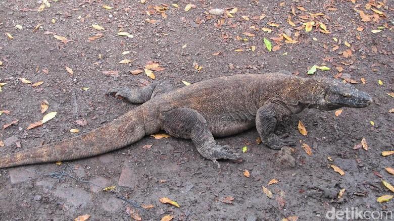 Komodo di Pulau Komodo (Afif/detikTravel)