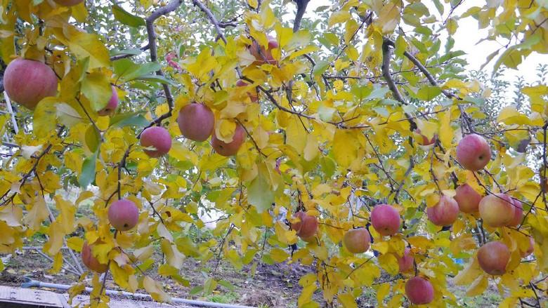 Pohon apel di Matsui Farm, Komoro, Jepang (Kurnia/detikTravel)