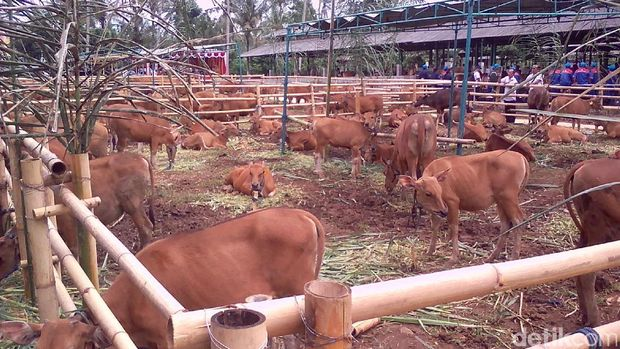 Inseminasi buatan untuk sapi Bali