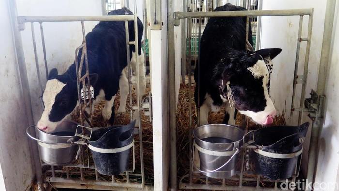 Untuk mendapatkan susu bermutu, produsen ini merasa perlu membuat peternakan sapi yang terintegrasi dengan pabriknya. Dengan begitu nutrisi dalam susu mereka juga terjaga.