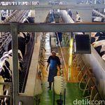 Aturan Serap Susu Lokal Dihapus Karena Desakan AS