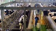 Pemerintah Ingin 40% Konsumsi Susu RI Dipenuhi Dalam Negeri