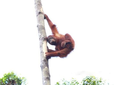 Aneka Tingkah Orangutan yang Menggemaskan di Tanjung Puting
