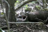 Turun lagi ke bawah, ke Labuan Bajo di NTT ada Naga Purba alias komodo. Hewan purba yang cuma ada di Indonesia, tidak ada di tempat lain! (Agung Pambudhy/detikTravel)
