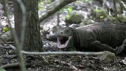 1 Komodo Mati Dunia Bisa Geger, Pembangunan Pasti Hati-hati