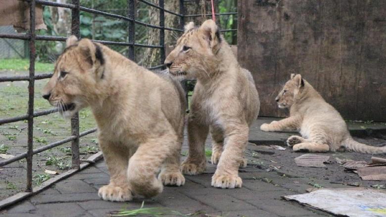 Tiga bayi singa di Taman Safari Prigen (Muhajir/detikTravel)