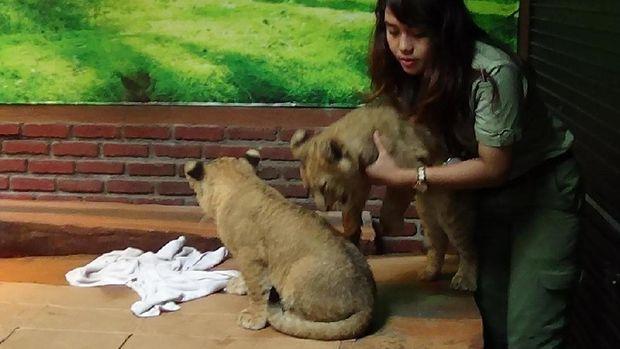 Pengunjung bisa berinteraksi dengan bayi singa ini di area baby zoo (Muhajir/detikTravel)