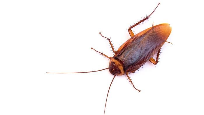 Kecoa bisa nggak sih menularkan penyakit kayak nyamuk atau lalat? Foto: Thinkstock