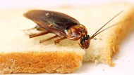Deretan Kecoa yang Bisa Terbang dan yang Tidak