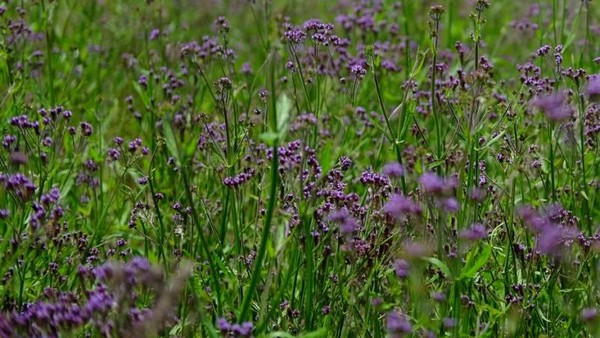 Di Gunung Semeru, tepatnya di sabana Oro-oro Ombo traveler bisa melihat bunga berwarna keunguan yang bernama verbena. Awas ketuker sama Lavender. Foto: Budiono/dTraveler