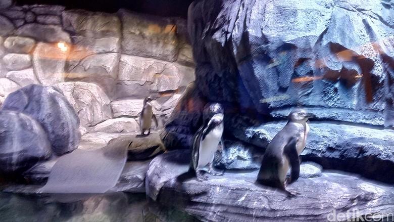 Pajang Penguin Hidup, Restoran di Jakbar Ini Didemo