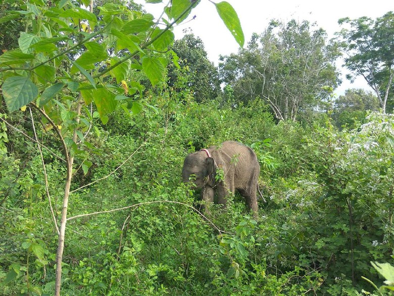 Gajah Liar Mengamuk Rusak 5 Rumah di Bener Meriah