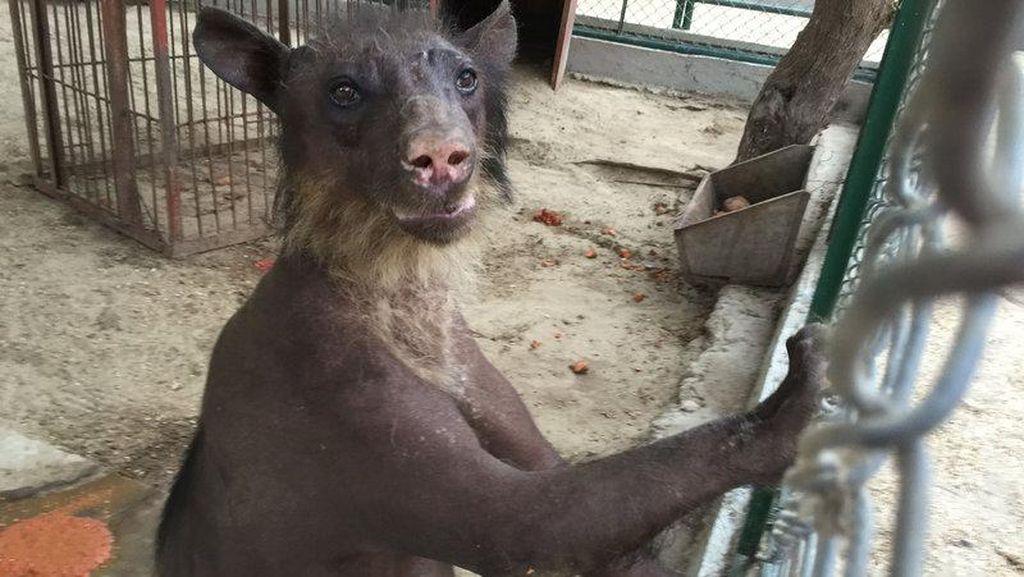 Beruang Sering Jadi Korban Penelantaran di Berbagai Objek Wisata Dunia