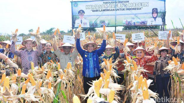 Panen jagung di Kabupaten Lamongan-Jawa Timur