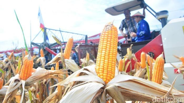 Panen jagung di Lamongan-Jawa Timur
