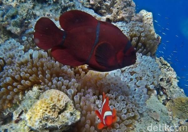 Terdapat beberapa spot yang bisa diselami oleh wisatawan di Bunaken. (Foto: Bawah Laut Bunaken)