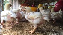 Harga Ayam Anjlok di Tengah Corona, Peternak Terancam Gulung Tikar