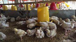 Harga Ayam Terjun Bebas Bikin Peternak Rakyat Sekarat