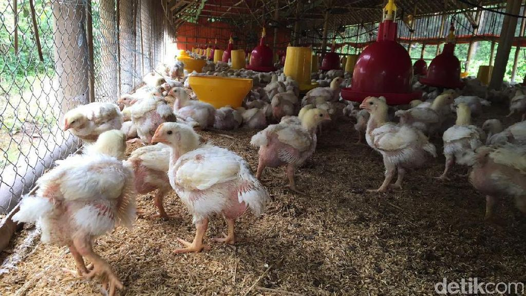 Harga Ayam Sudah Naik Jadi Rp 21.000/Kg di Tingkat Peternak