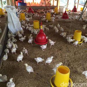 Nutrisi Pakan Berkurang Bikin Produksi Ayam Peternak Menurun