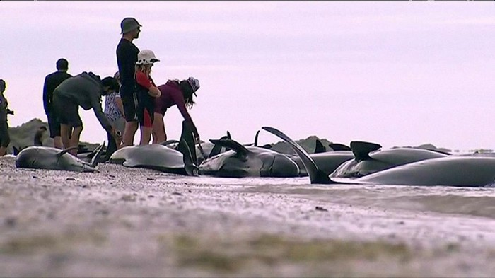 People stand next to stranded pilot whales seen in the water on the beach in Golden Bay, New Zealand after one of the countrys largest recorded mass whale strandings on Friday, in this still frame taken from video released February 10, 2017. TV NZ/TV3 (NEW ZEALAND) via REUTERS TV   ATTENTION EDITORS - NO ACCESS NEW ZEALAND. NO ACCESS NEW ZEALAND INTERNET SITES / ANY INTERNET SITE OF ANY NEW ZEALAND OR AUSTRALIAN BASED MEDIA ORGANISATIONS OR MOBILE PLATFORMS. THIS IMAGE HAS BEEN PROVIDED BY A THIRD PARTY. EDITORIAL USE ONLY. NO RESALES. NO ARCHIVE. NEW ZEALAND OUT. NO COMMERCIAL OR EDITORIAL SALES IN NEW ZEALAND. AUSTRALIA OUT. NO COMMERCIAL OR EDITORIAL SALES IN AUSTRALIA.
