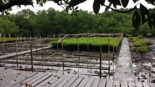 Lokasi pembibitan pohon bakau (Zainal/detikTravel)