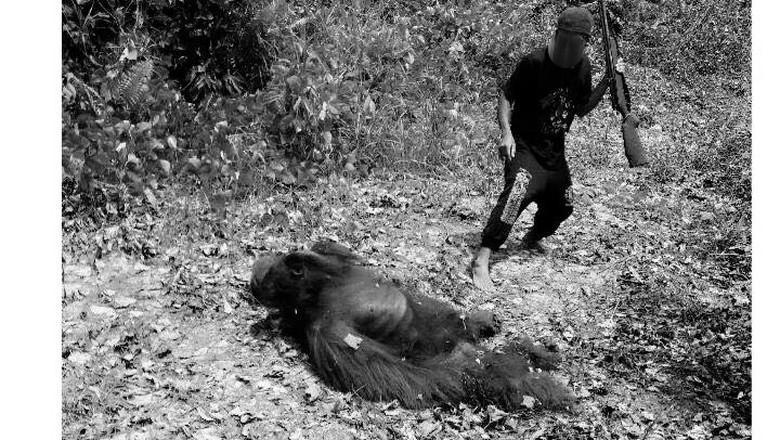 Anggota DPR Terima Aduan Orangutan di Kalteng Dibunuh dan Dimasak