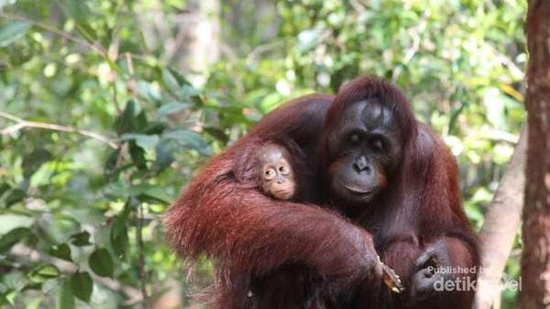 Orangutan di Tanjung Puting (Debora Kusumadewi/dTraveler)