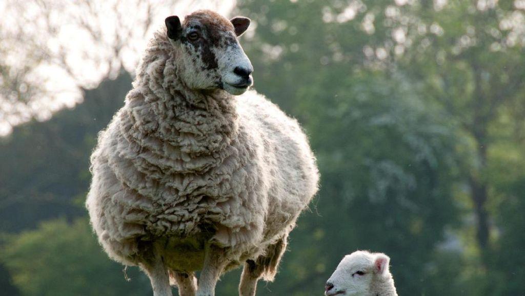 Termahal di Dunia! Domba Ini Laku Rp 7 Miliar