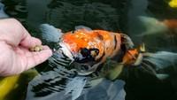 Unik, Warga Dieng Pelihara Ikan di Air Hangat