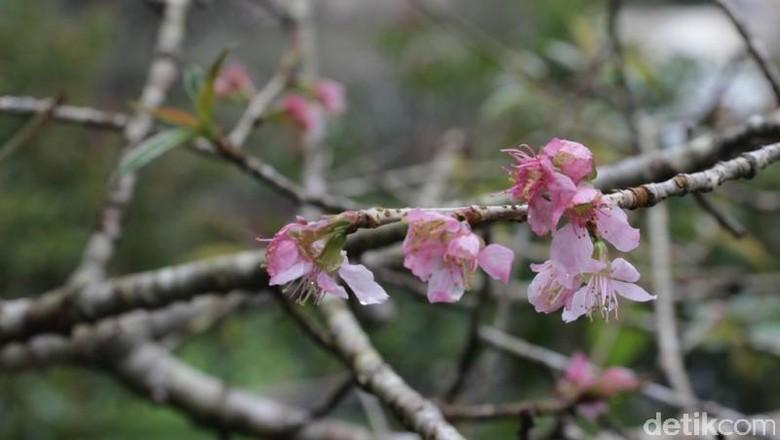 Foto: Bunga sakura di Cibodas (Kebun Raya Cibodas/Facebook)