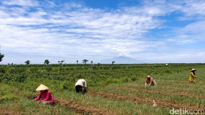 Dirjen Hortikultura Spudnik Sujono mengecek persiapan panen cabai dan bawang di Cirebon