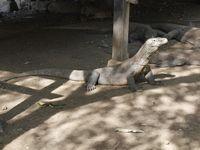 Komodo di Pulau Rinca lebih agresif (Kurnia/detikTravel)