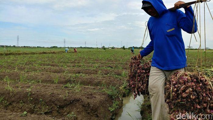 Ilustrasi Petani Bawang MerahFoto: Tri Ispranoto/detikcom