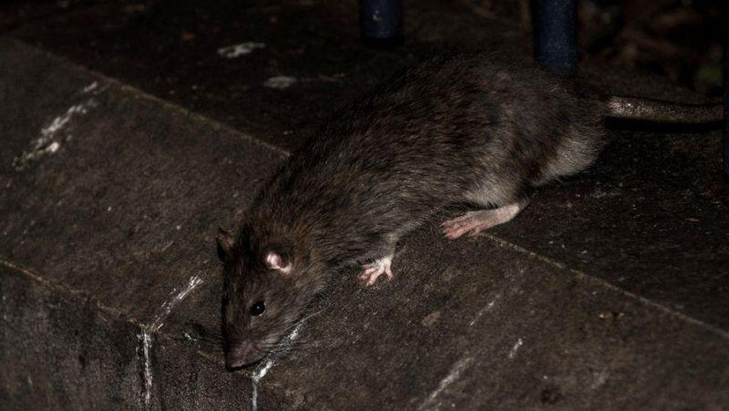 Kota Ini Diserang Wabah Leptospirosis, Menular Lewat Kencing Tikus