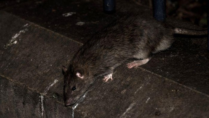 Paris Mayor Anne Hidalgo said the city would buy new traps for the rats and surround some of the citys 30,000 rubbish bins with wooden or Plexiglass bases (AFP Photo/PHILIPPE LOPEZ)