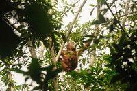 Apa Fungsi Orangutan dalam Ekosistem Hutan?
