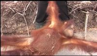 Hutan Jadi Industri Perkebunan, Orangutan pun Dianggap Hama