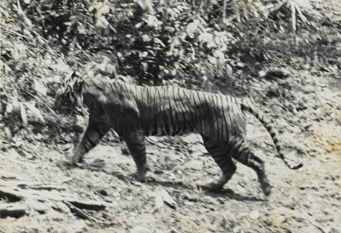 Foto harimau Jawa hidup, Panthera tigris sondaica, diambil pada 1938 di Ujung Kulon (Andries Hoogerwerf, 29 August 1906 – 5 February 1977/Wikimedia Commons)