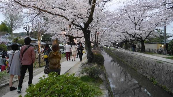 Nah, di sepanjang Philosophers Path, ditumbuhi ratusan pohon sakura. Kala musim semi tiba, bunga-bunga sakura bermekaran dengan cantiknya, bagaikan di negeri dongeng! (Kurnia/detikTravel)