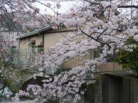 Sakura yang bermekaran di musim semi