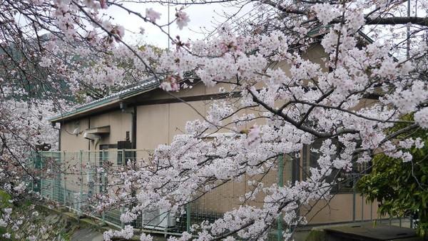 Datang kemari memang lebih asyik saat sakura sedang mekar sempurna. Untuk itu, silakan cek dulu perkiraan jadwalnya di situs pariwisata Jepang. Biasanya sekitar akhir Maret atau awal April (Kurnia/detikTravel)