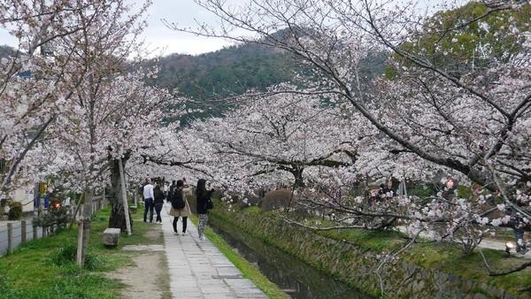 Philosophers Path merupakan jalan setapak di tepi kanal sepanjang sekitar 2 km. Lokasinya di sebelah utara Kyoto, tepatnya Distrik Higashiyama (Kurnia/detikTravel)