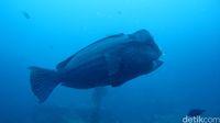 Ikan Bumphead di Tulamben (Kamal/detikTravel)
