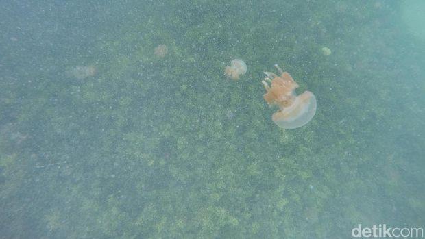 Ubur-ubur di Danau Kakaban