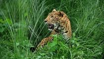 Meditasi di Hutan Lindung, Biksu India Tewas Diserang Macan Tutul