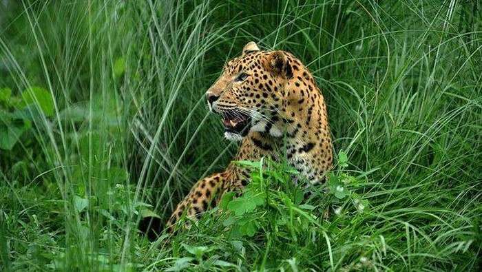 Ilustrasi Macan Tutul (AFP)