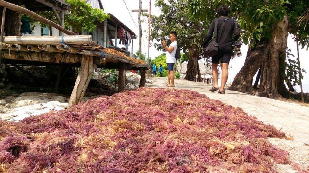 Potensi Rumput Laut Indonesia Capai Rp 459 T