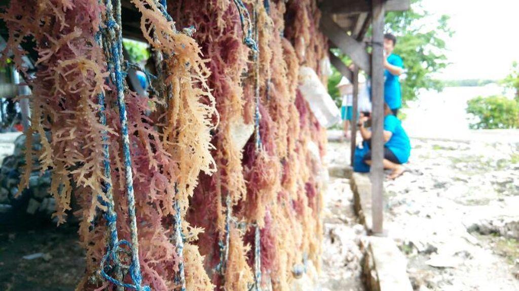Tudingan AS Soal Rumput Laut RI KW Sudah Sejak 2013
